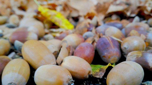 Velké množství kaštanů a žaludů po zemi v letošním roce značí, že by měla být tužší zima.
