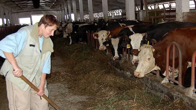 O ZVÍŘATA SE MUSÍ  DENNĚ PEČOVAT. Jen soustavnou několikaletou prací je  možné vybudovat  chovné stádo  hovězího nebo vepřového dobytka.