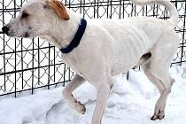 V CHEBSKÉM PSÍM ÚTULKU našel dočasný domov pes Kešu. Jeho majitel, musher Pavel Kratochvila, tragicky zemřel a o jeho smečku se nikdo nemohl starat.
