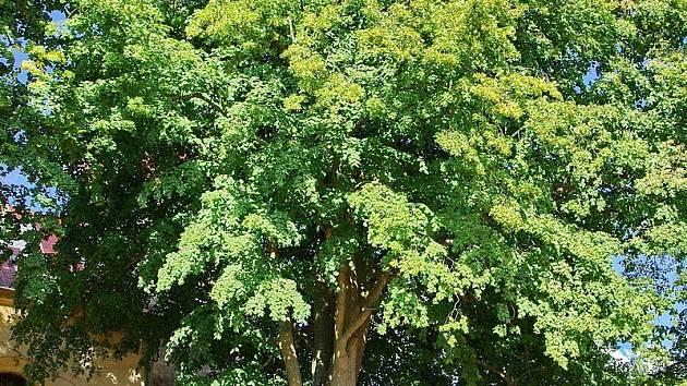 Lípa velkolistá je nejmohutnější ze stromů, které obklopují kostel svatého Víta v Trstěnicích.