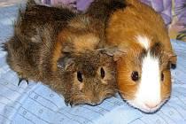 Tohle jsou naše morčátka Maxinka a Filípek. Máme je téměř 3 roky. Nejraději mají zelený salát nebo čerstvou travičku přímo ze zahrádky. Moc rádi spolu dovádějí.