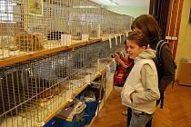 Výstava ušlechtilých morčat v Chebu.