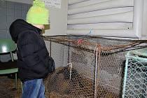 ŠESTILETÝ Patrik se přišel podívat na chovatelskou výstavu v Aši a zaujal ho také beránek.