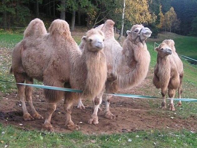 Na účastníky pětidenních orientačních závodů na Jičínsku čekalo i svezení na velbloudu.