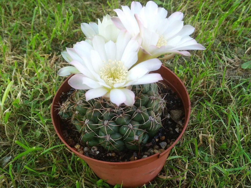 Kaktusy je čeleď dvouděložných rostlin z řádu hvozdíkotvarých.