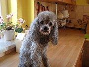 To je náš pudlík, letos mu bude 14 roků, ale vypadá pořád jako mladík a jmenuje se Mates.