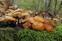 I tyto houby mohou houbaři najít v lese.
