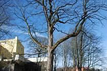 Zedtwitzův strom