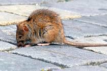 Cheb zamořili přemnožení potkani. Procházejí se po ulicích i za bílého dne a hledají jídlo v popelnicích. Město nařídilo speciální plošnou deratizaci.