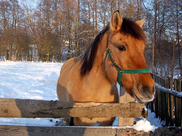 NĚKTERÁ PLEMENA zvířat jsou, na rozdíl od lidí, uzpůsobena k přežití venku i ve velkých mrazech. Tato klisna v Lomničce je sice posmutnělá, ale známky zanedbávání nejeví.