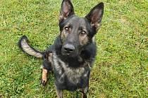 Služební pes Frigo vypátral odcizené nářadí.