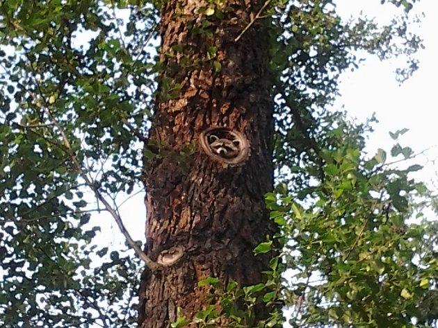 MÝVALA Z CHEBSKÉ ´KRAJINKY´není snadné vyfotografovat. Ve větvích stromů se pohybuje zejména v noci.