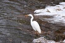 Nádherné fotografie volavek u řeky Ohře v centru Chebu se povedly také chebské obyvatelce.