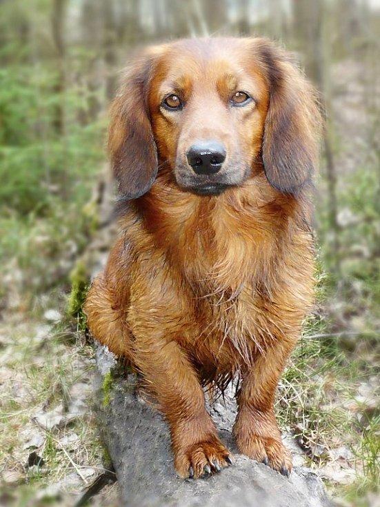 Náš mazlíček je jezevčík Ben a nejraději má dlouhé procházky po lese.