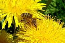Včela medonosná na pampelišce u Chebu.