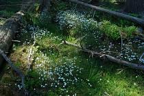 Unikátem, který neroste nikde jinde na světě, se mohou pochlubit ve Slavkovském lese. Rožec kuřičkolistý, který je zařazen mezi kriticky ohrožené druhy a chráněn zákonem, roste na malém území asi sedm krát čtyři kilometry.