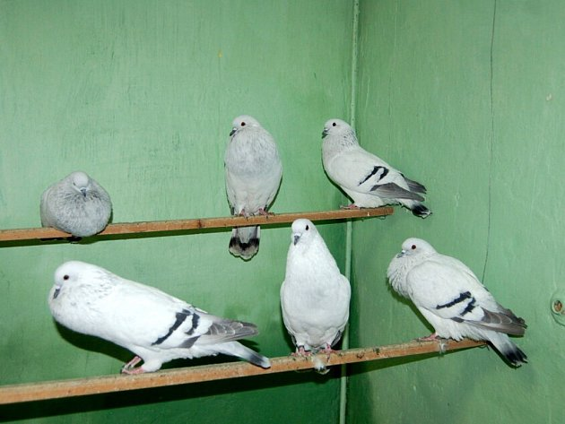 Chovatelská výstava v Aši