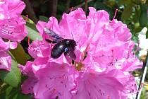 Dřevodělka nebo také drvodělka fialová je stále častěji vidět v zahradách Karlovarského kraje.