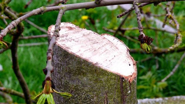 NA CHEBSKÉM SÍDLIŠTI ZLATÝ VRCH SE vandalové nebáli podříznout ani úplně zdravý stromek. Podle mluvčí chebské radnice se s uličníky, kteří ničí jejich práci, setkávají často.