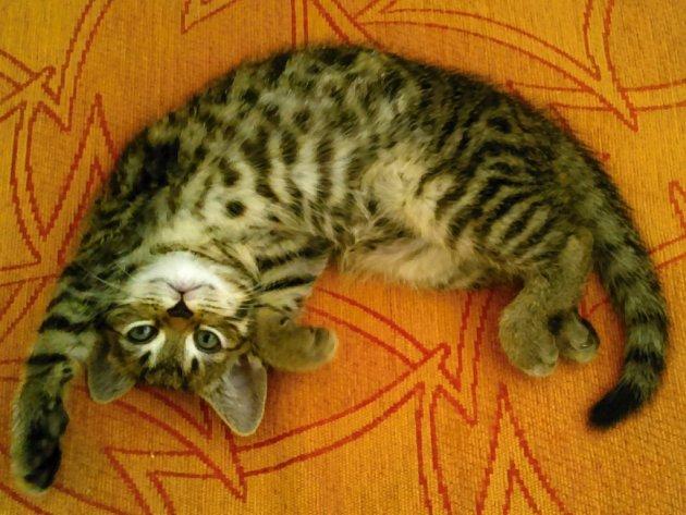 Tohle je náš nový člen rodiny Chico. Kocourek britského tygrovaného.