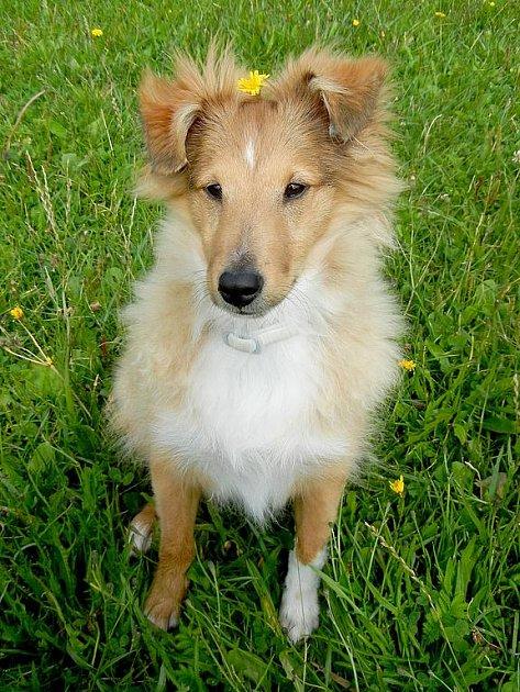 Naším domácím mazlíčkem je Rico. Je to skoro 5 měsíční štěně Šeltie. Je mazlíčkem rodiny.