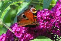 Motýly nejraději létají na fialové keře komule.