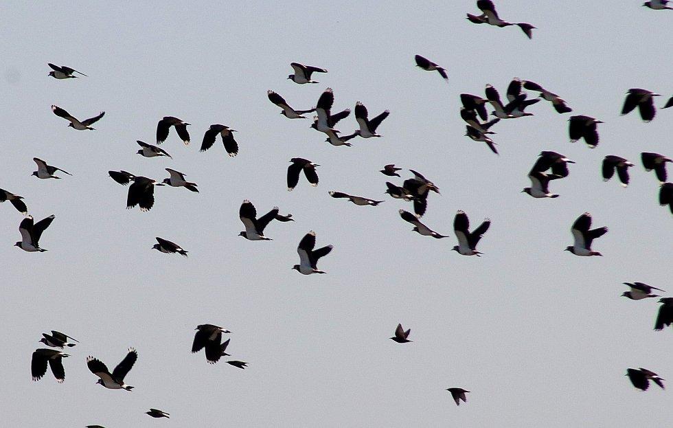 Čejky chocholaté, husy a labutě u Chebu.