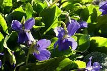 Violka vonná (Viola odorata).