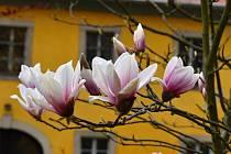 Magnolie rozkvetly i v chebské klášterní zahradě.