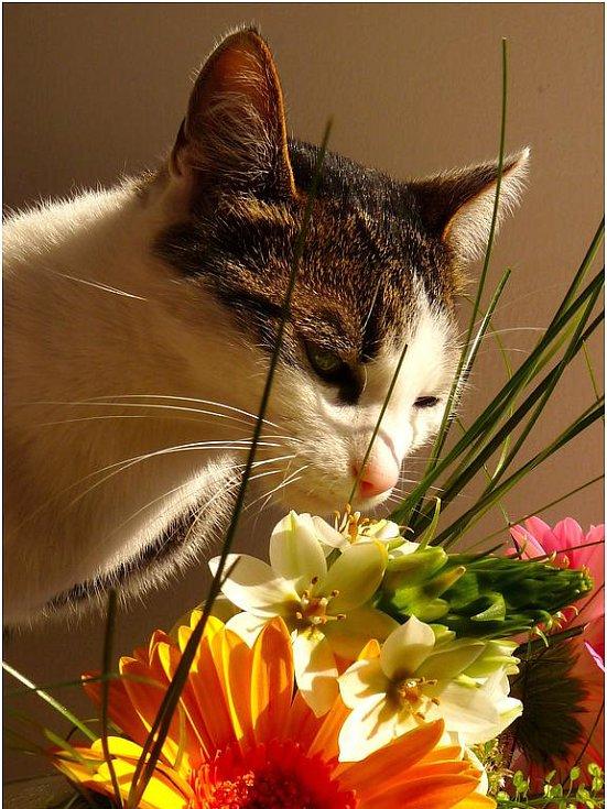 Romantická kočička Čertík čichá ke květině.