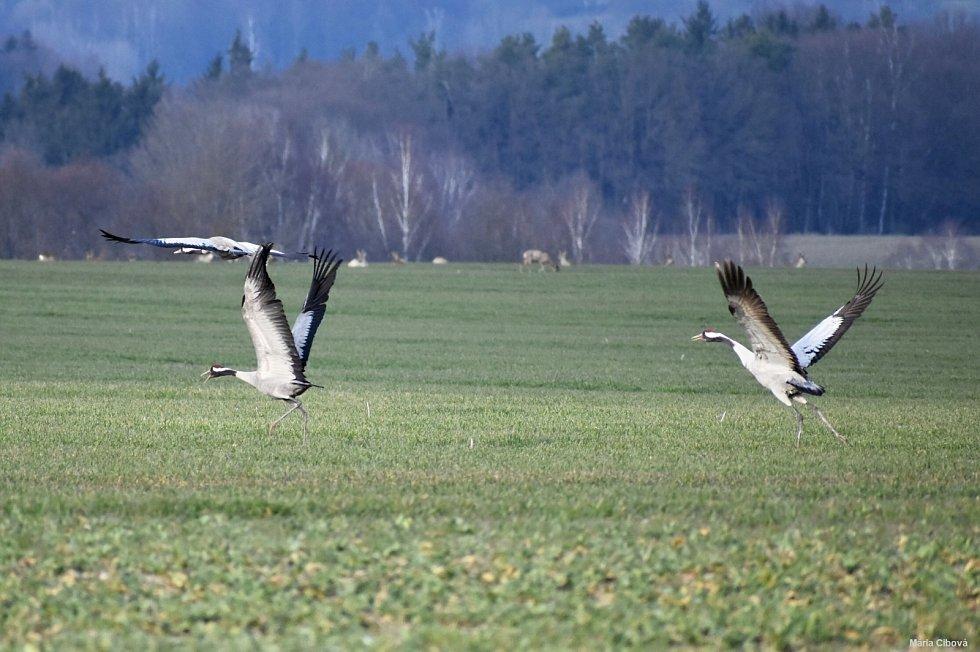 Jeřábi popelaví se procházeli na poli nedaleko Milhostova na Chebsku.