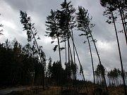 Muž si prohlíží torzo stromu v Sedlištích, do něhož udeřil blesk.