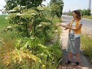 Bolševník je agresívní rostlina, která působí na Chebsku stále větší problémy