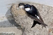 Vlaštovky už začaly stavět hnízda.