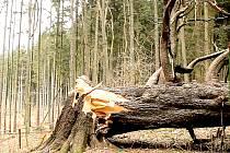 KRÁL SMRKŮ. Památný strom nedaleko Mariánských Lázní neodolal silnému větru.