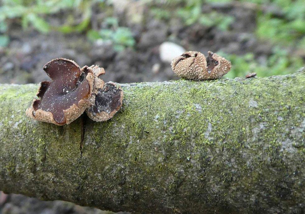 Kornice otrubičnatá (Encoelia furfuracea).