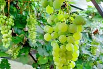 Vínu se ve sklenících daří. Pěstuje je čím dál více lidí.