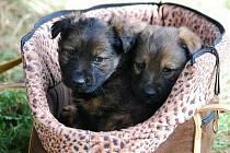 ÚTULEK v Horní Hraničné chvíly obývaly tyto psí slečny. Našla je houbařka v lese u obce Horka. Nyní už je o ně postaráno.