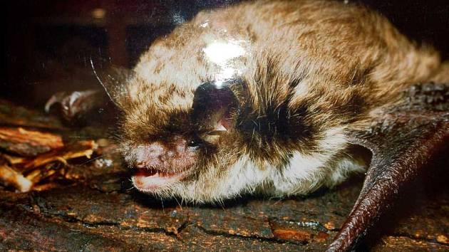 Netopýr na výstavě Drobní savci v chebském muzeu