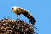 Čáp hnízdí pravidelně na chebském komíně.