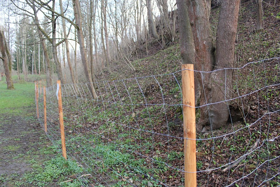Lokalitu, kde roste česnek medvědí, se rozhodly Mariánské Lázně oplotit.