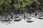V Mariánských Lázních se procházely kachny.