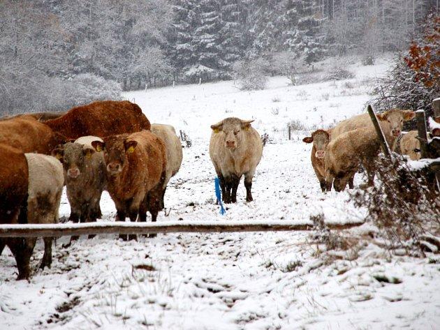 Drmoulští se bojí, že stádo skotu znovu uteče z pastviny. Chatrné ohradě příliš nevěří