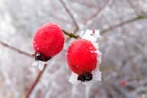 Šípek je označení pro plod růže. Nejedná se v pravém smyslu o plod, ale o složené souplodí nažek, na jehož vzniku se podílejí i další části květu.