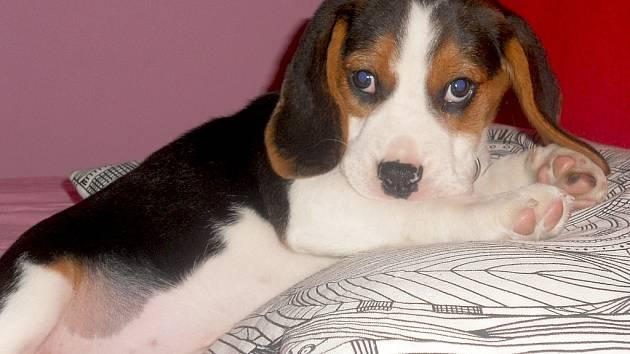 To je náš miláček Lilly. Desetitýdenní štěně bígla trikolor. Hodně ráda kouše, hrabe se koši a neposlouchá.