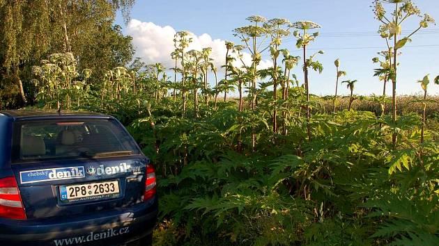 Vzrostlý bolševník u silnice nedaleko od Dolního Žandova na Chebsku