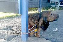 TATO fenka se našla uvázaná v Klimentově na řetězu zajištěném visacím zámkem. Nyní čeká v tachovské záchranné stanici, zda se jí někdo ujme.
