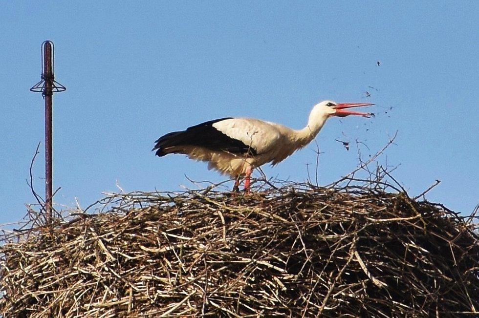 Pár čápů bílých dovádí na komíně, kde se stará o čtyři hladové krky.