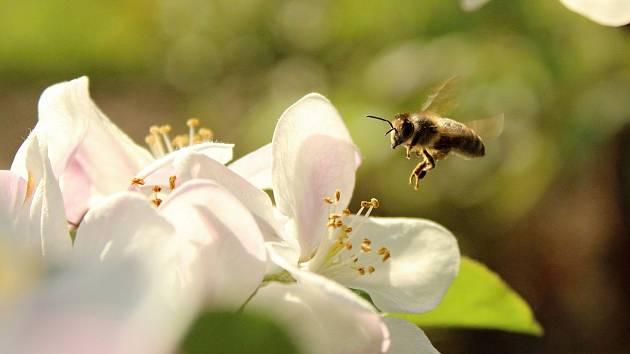 Na první kvetoucí stromy už začaly létat včely medonosné.