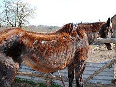 Ve Vlkovicích u Mariánských Lázní se v ohradě nacházela velmi zanedbaná kobyla.
